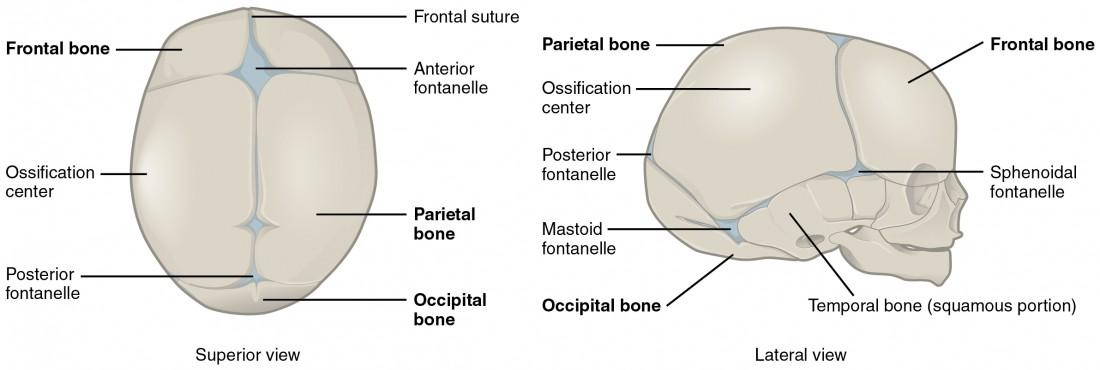 Development of the skeleton   Development of the bones - Anatomy ...