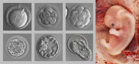 Development of the human organism