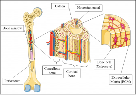 Osteology (OSTEOLOGIA) - the science of the bones