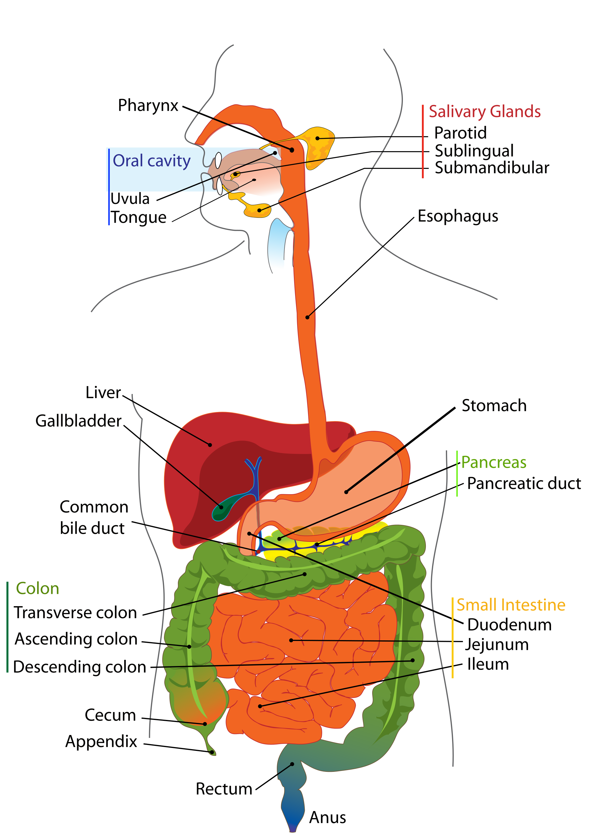 Digestive system structure of the digestive system digestion structure of digestive system pooptronica
