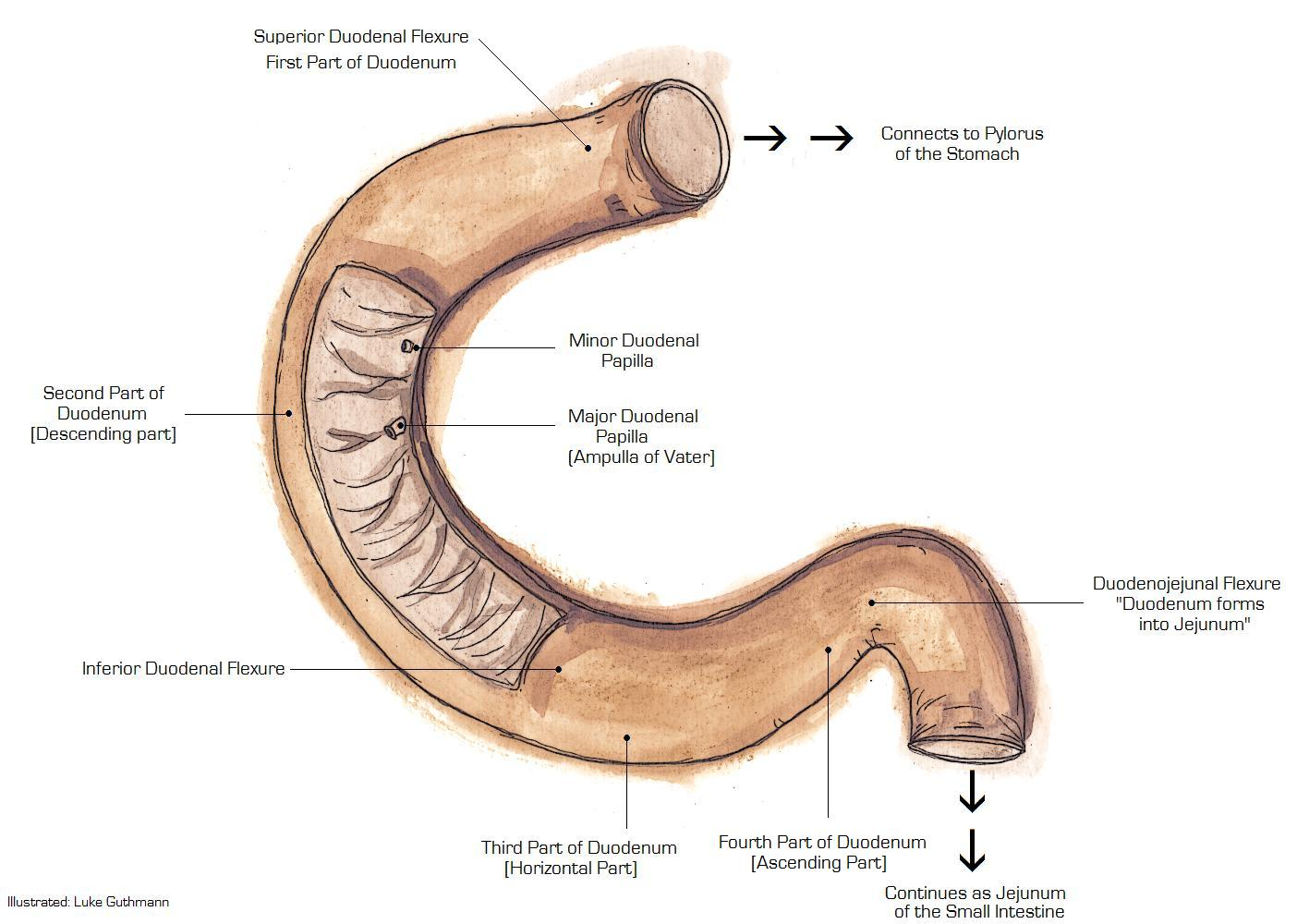 Digestive System Structure Of Digestive System