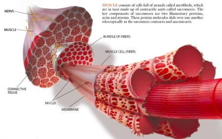 Myology (MYOLOGIA) - the science of muscles