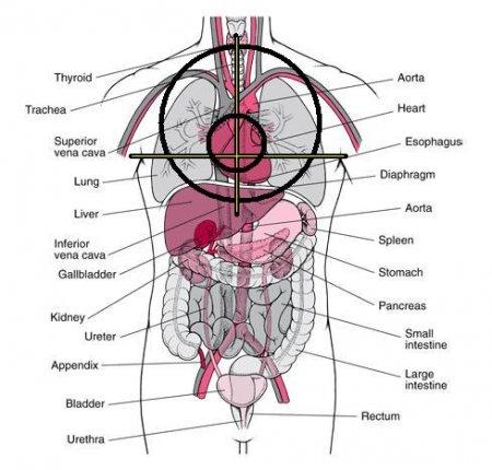 Splanchnology (SPLANCHNOLOGIA) - the science of internals