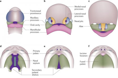 Development of the oral cavity