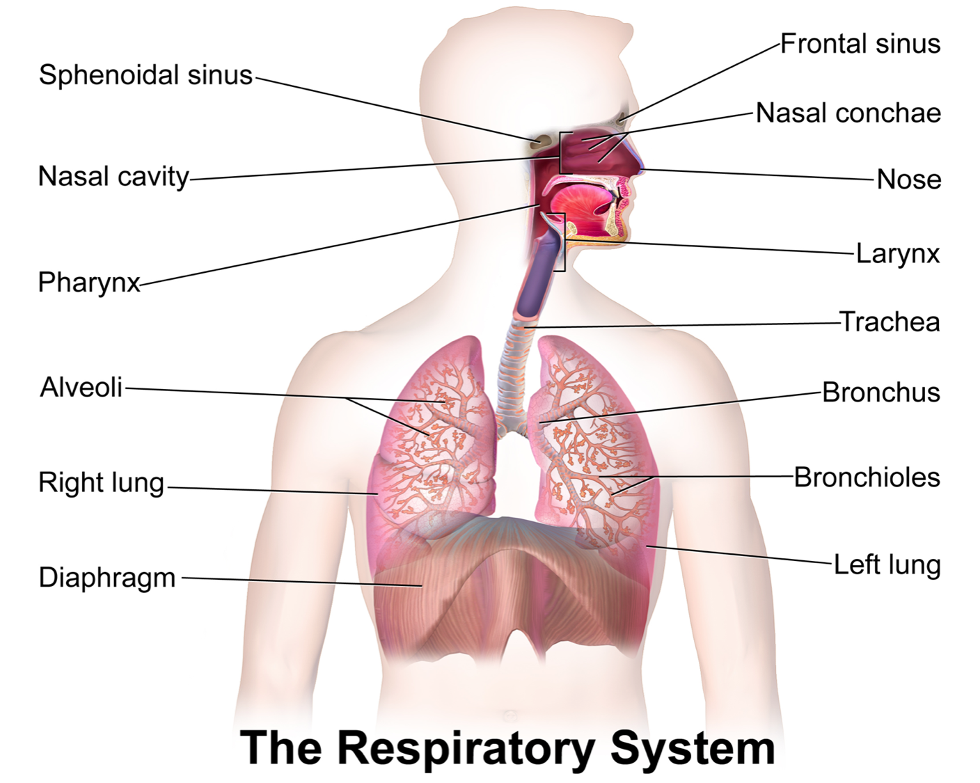 Respiratory System Structure Of The Respiratory System Anatomy