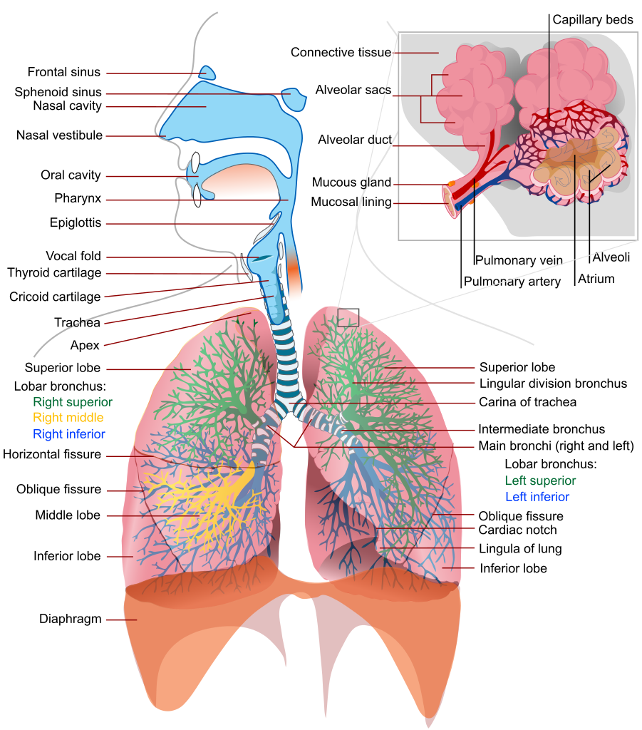 Physiology of the respiratory system - Anatomy-Medicine.COM