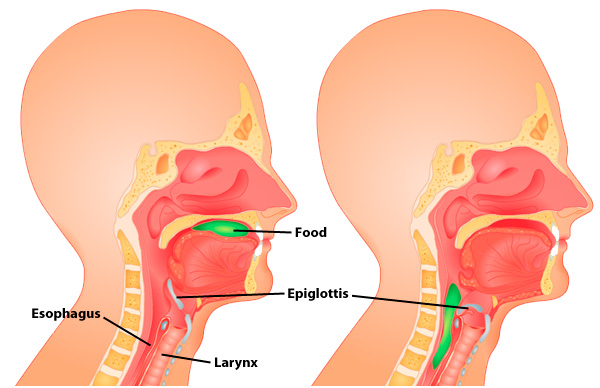 the epiglottis | functions and structure of the epiglottis, Sphenoid
