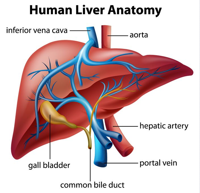 The Liver Anatomy Of The Liver Structure Of The Liver Anatomy