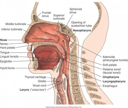 The respiratory system of the head and neck