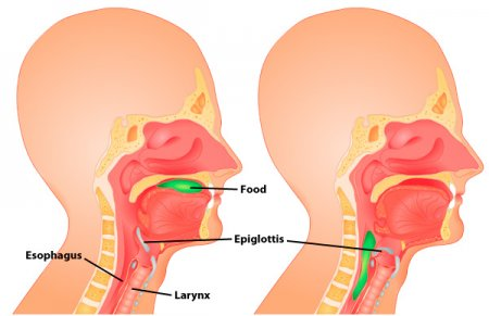 The epiglottis