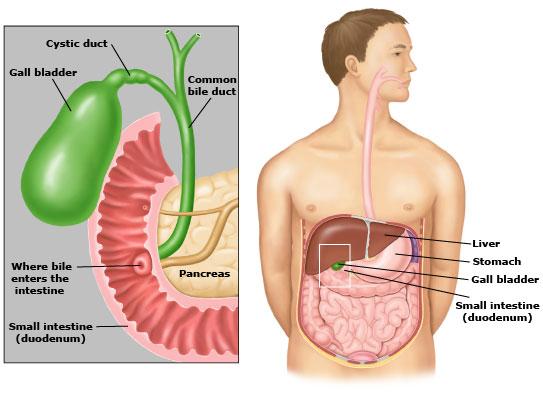 physiology of the gallbladder - anatomy-medicine, Human Body