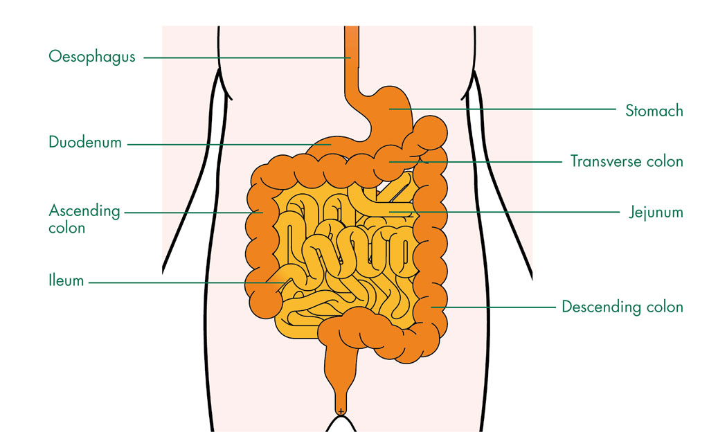 the small intestine | structure of the small intestine - anatomy, Human Body