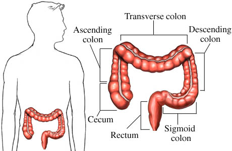 The large intestine | Structure and functions of the large intestine ...