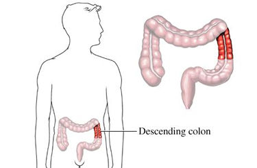 The descending colon