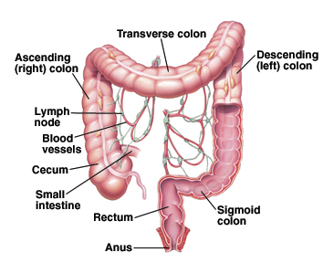 The sigmoid colon
