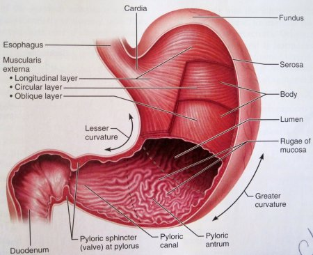 Physiology of the stomach