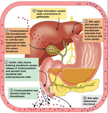 Physiology of the pancreas