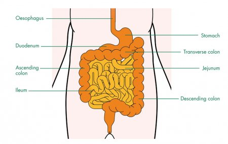 The small intestine