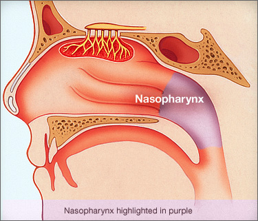 The nasopharynx