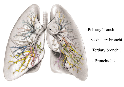 Bronchi and Bronchioles | The terminal bronchi and alveoli - Anatomy ...