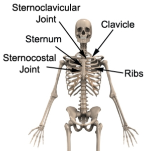 The bones of the chest and upper back
