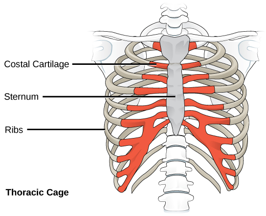 the costal cartilage