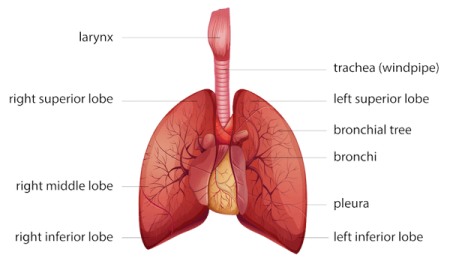 Lungs and Respiratory System of the Chest