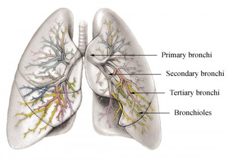 Bronchi and Bronchioles