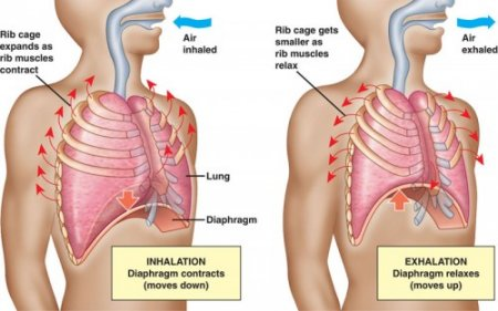 The diaphragm in the respiratory system