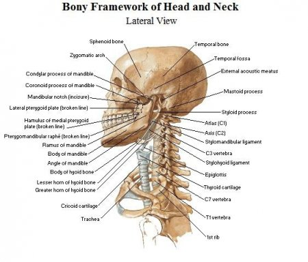 The bones of the head and neck
