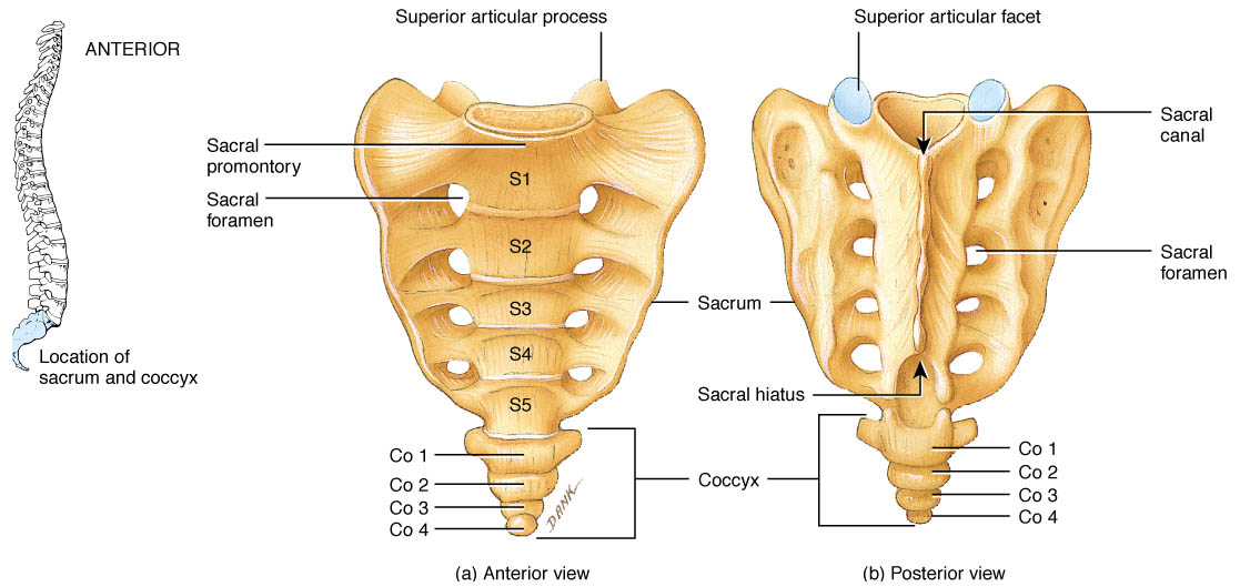 The sacrum | Structure of the sacrum - Anatomy-Medicine.COM