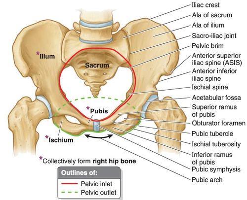 The Ilium Anatomy Of The Ilium Physiology Of The Ilium
