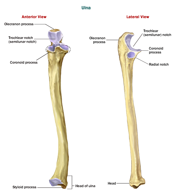labeled diagram of the inner body the ulna | anatomy of the ulna - anatomy-medicine.com