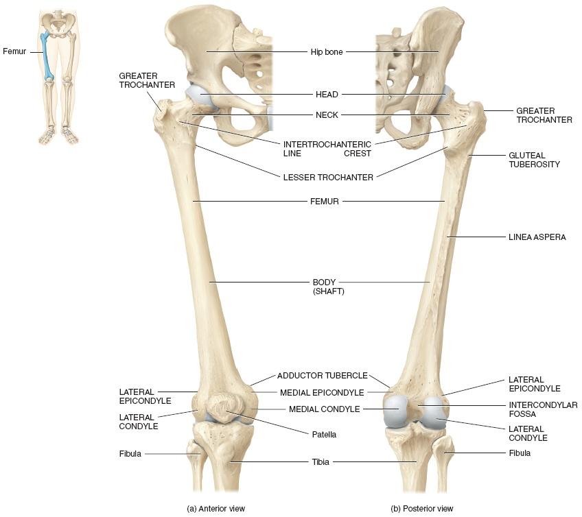 The femur | Structure of the femur - Anatomy-Medicine.COM