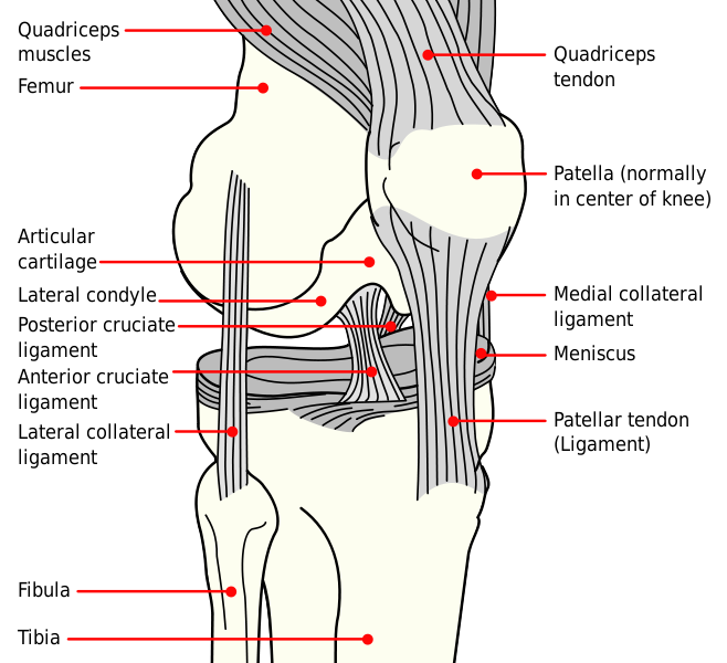 The Patella Anatomy Of The Patella Physiology Of The Patella