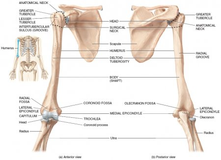 The humerus