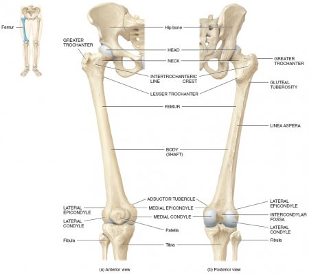 The femur