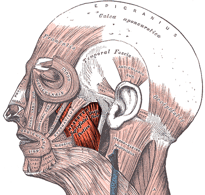 The muscles of the head and neck
