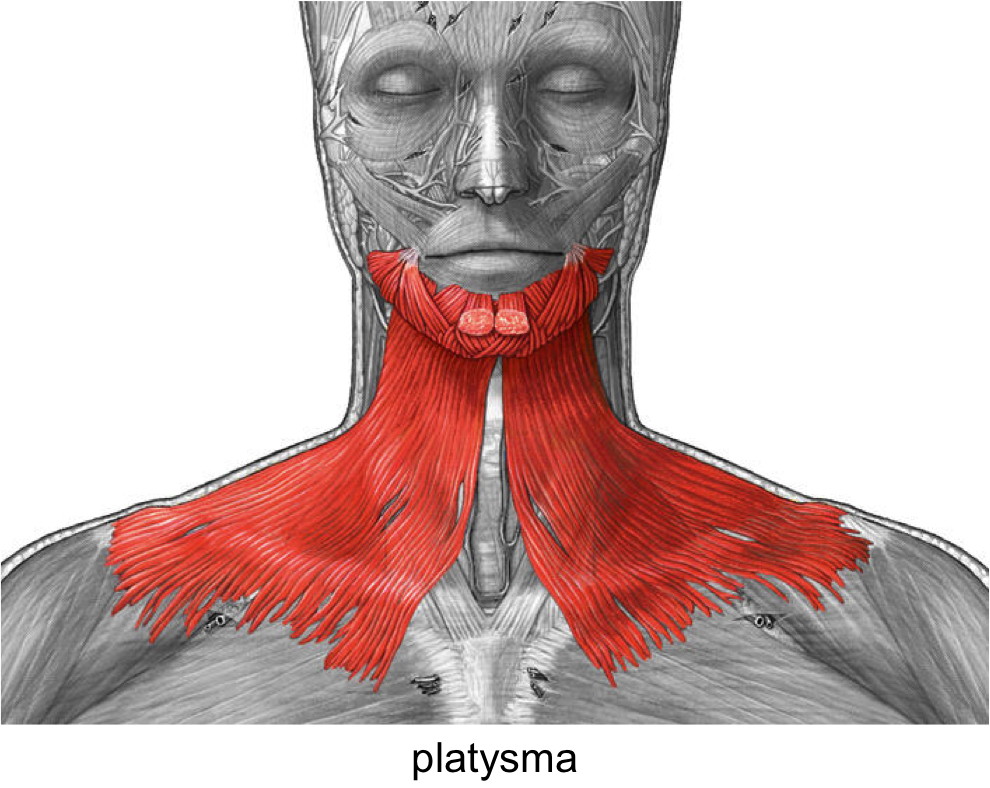 The Muscles Of The Head And Neck Anatomy Medicine