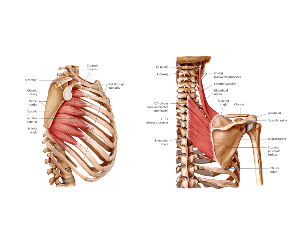 The muscles of the chest and upper back - Anatomy-Medicine.COM