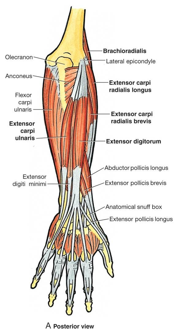 the muscles of the arm and hand - anatomy-medicine, Cephalic Vein