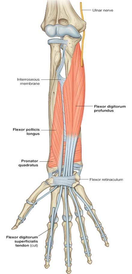 The muscles of the arm and hand - Anatomy-Medicine COM