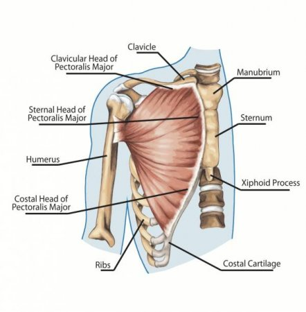 The muscles of the chest and upper back