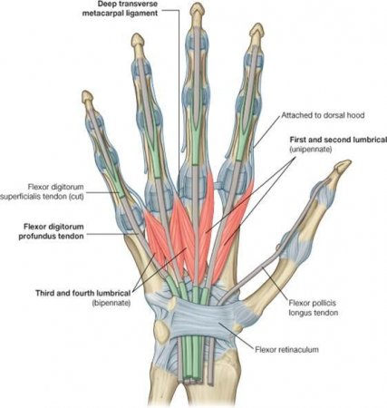 The muscles of the arm and hand