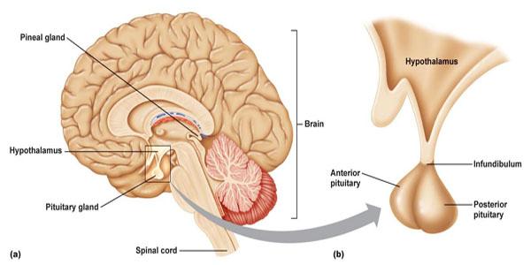 The pituitary gland Anatomy ...