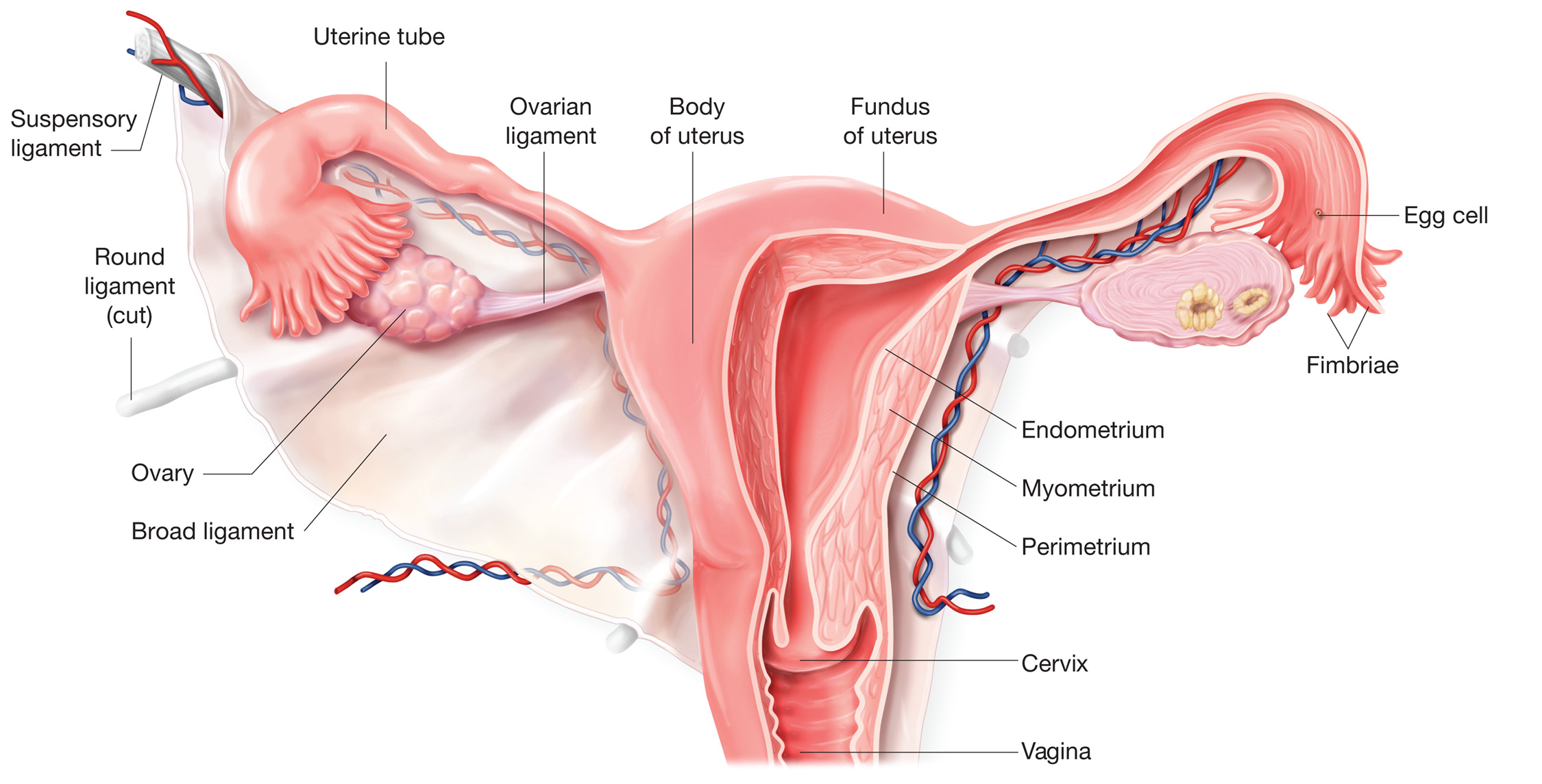 The uterus | Anatomy of the uterus | Physiology of the uterus ...