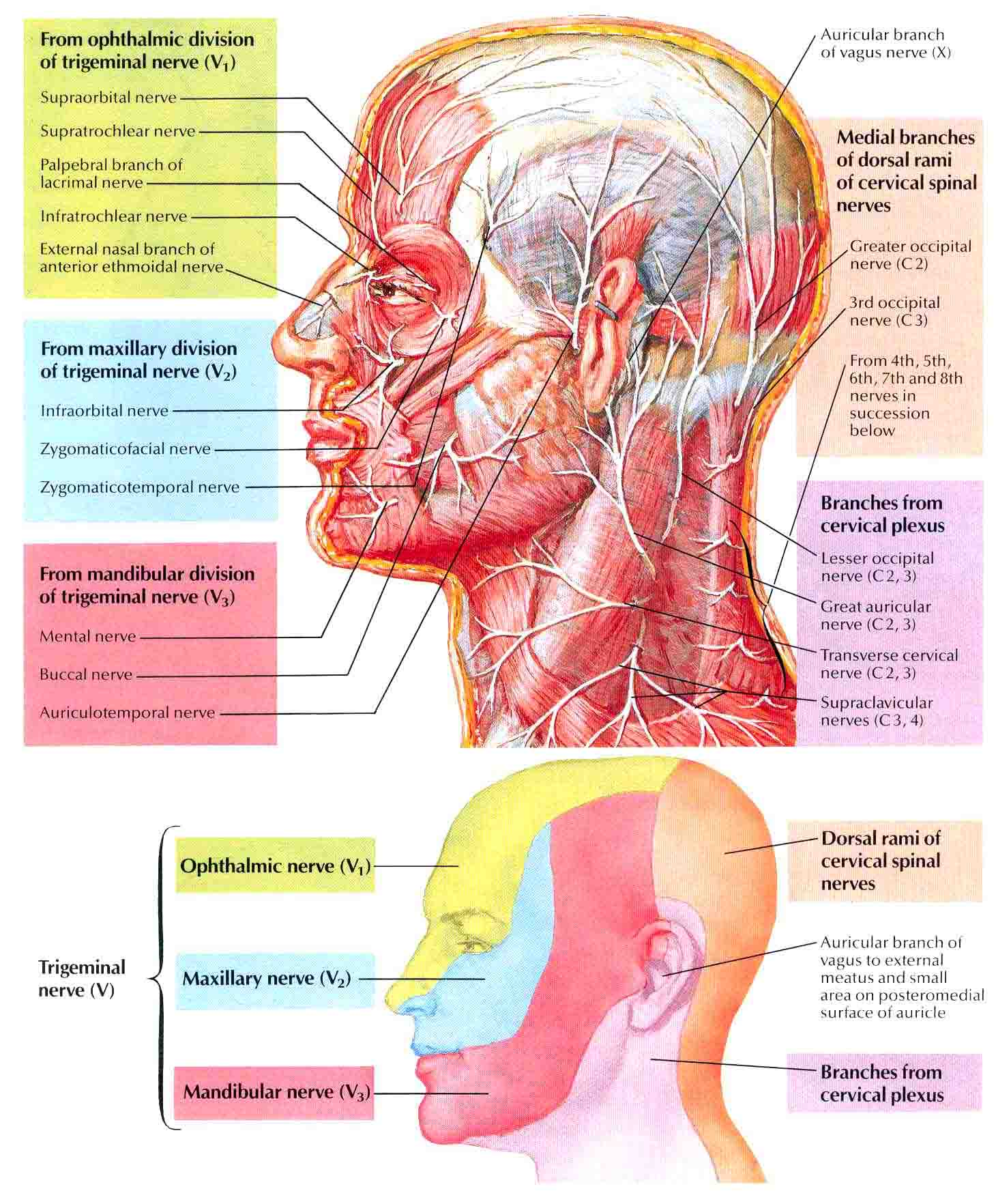 The nerves of the head and neck | Anatomy of the nerves of the head ...