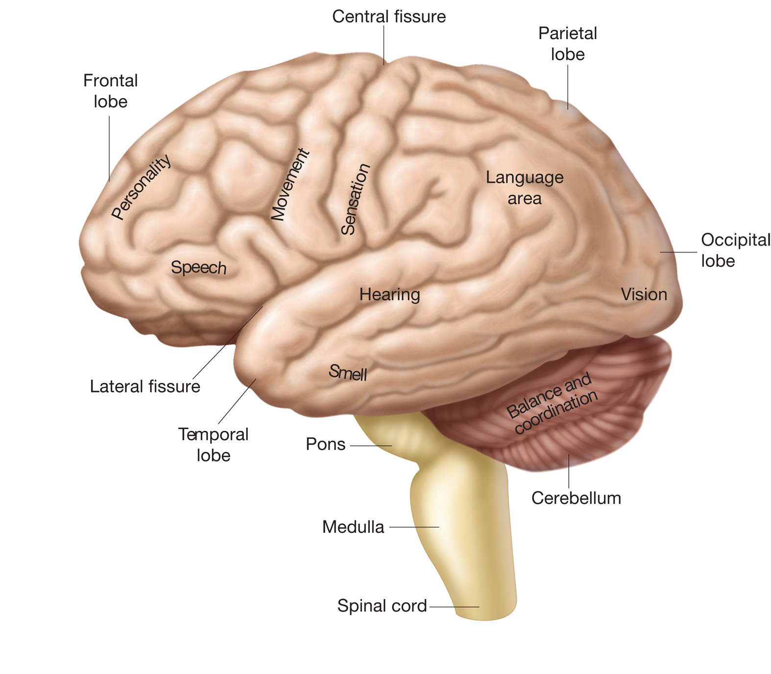 the cerebrum anatomy of the cerebrum physiology of the cerebrum