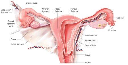 The uterus