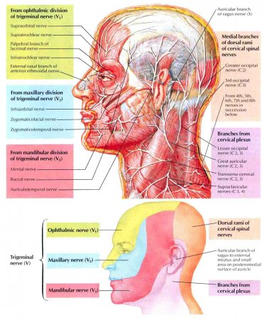 The nerves of the head and neck